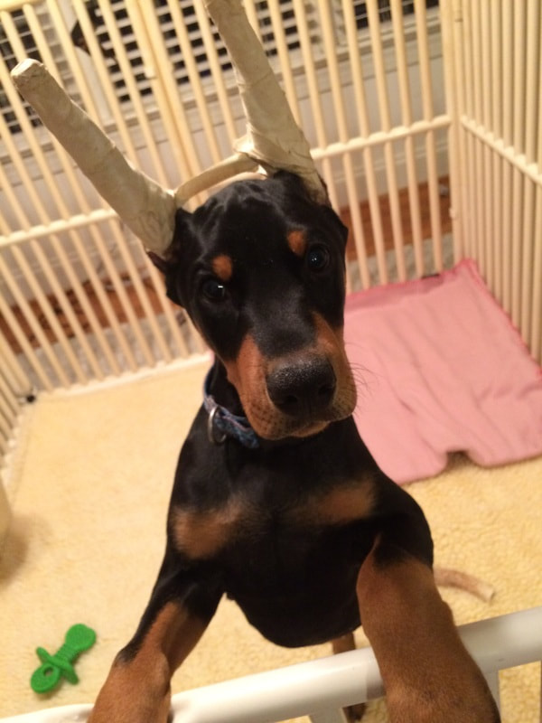 Puppies - Doberman Pinscher Club of Dallas